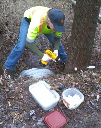 An employee of Maple Hill Tree Services injecting pesticide against the Emerald Ash Borer