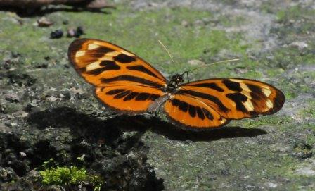 Heliconius Butterfly, Peru. Not our Monarch, despite the same colours!