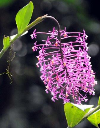 Orchid, Peru. There are said to be more species of orchids in the world than any other.
