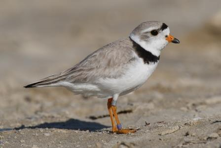 Piping plover photo courtesy GFDL & Wikipedia