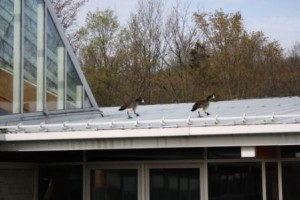 Geese on their way to the Centre for Conservation exhibit