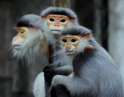 Red-Shanked Douc Langur Monkeys, Vietnam