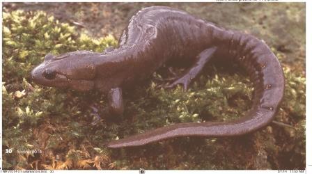 Jefferson salamander photographed by Don Scallen