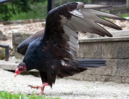 Casey the Turkey Vulture