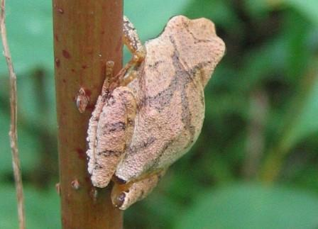 Spring peeper. Photo provided by Conservation Halton.