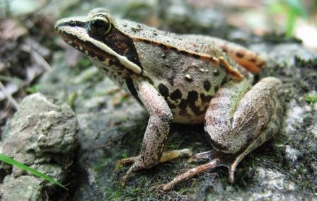Wood frog. Photo provided by Conservation Halton.