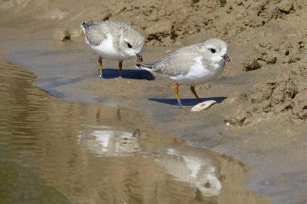 The Sauble Beach Piping Plover chick that wintered in Florida is seen foraging with its sibling on July 22, 2015 when they were a month old. Photo credit: Cheryl Ferguson